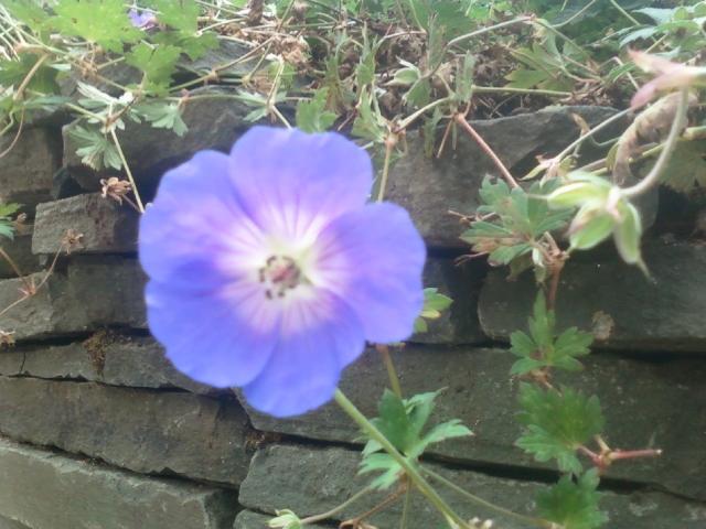 Captivating Geranium 'Rozanne'